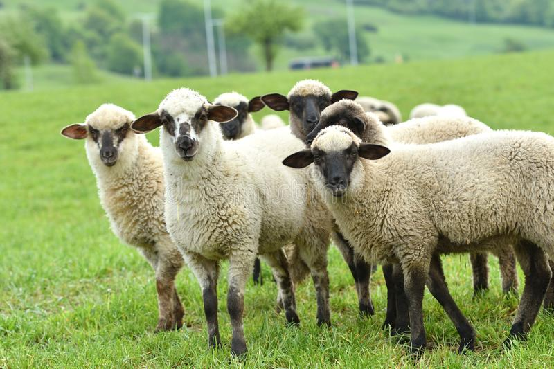 Domestic sheep walks on a meadow and eats grass. Portrait of domestic sheep grazing on green grass stock images