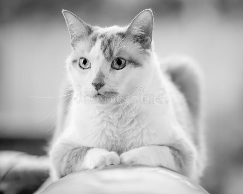 Domestic Shorthair cat on the arm of a leather sofa looking forwards. White and ginger green eyes. green background stock photography