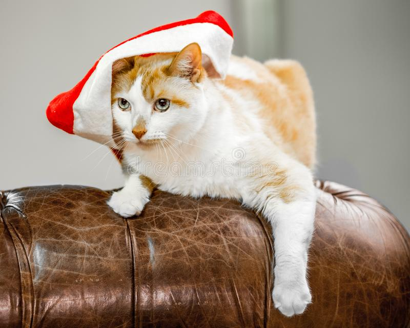 Domestic Shorthair cat in a Christmas hat on the arm of a leather sofa stock photo