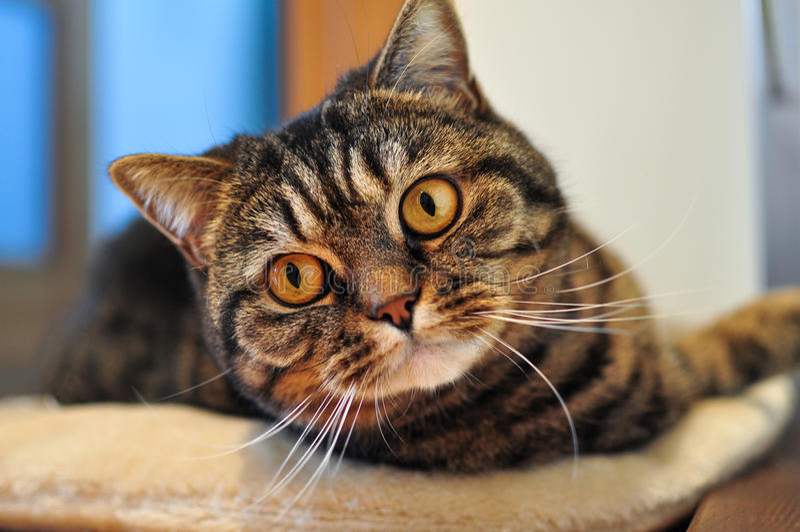 Domestic tabby cat royalty free stock photo