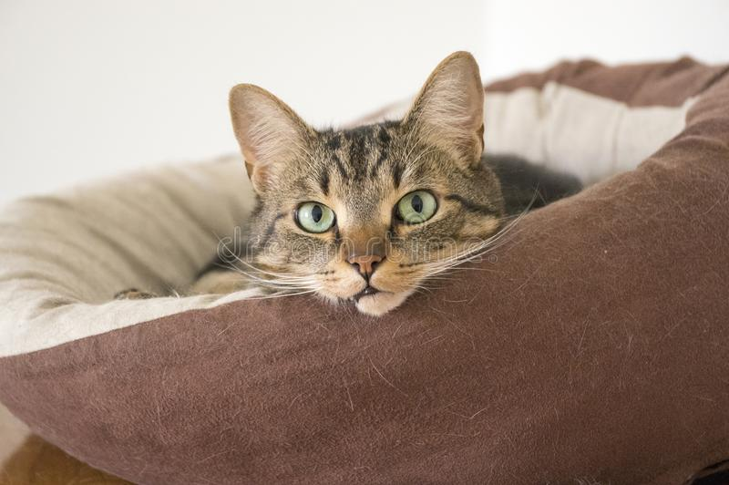 Domestic tiger cat lying on brown cat bed on grey sofa. Eye contact, cute cat relaxing, green eyes royalty free stock images