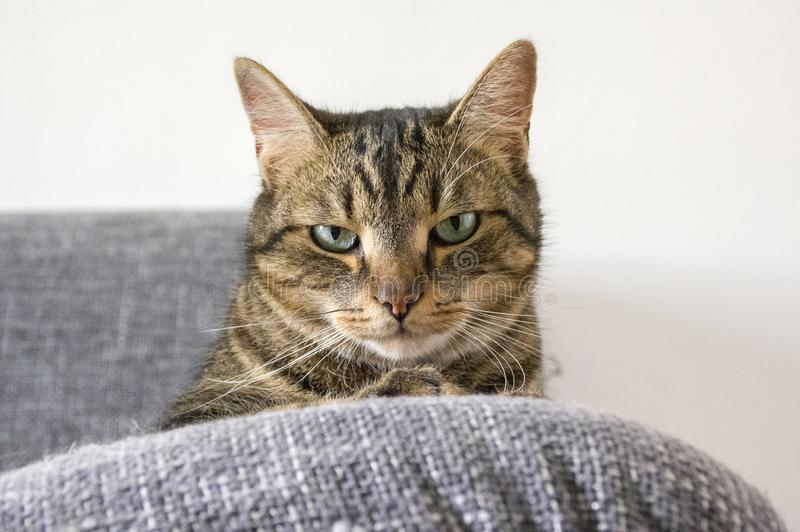 Domestic tiger cat lying on grey sofa, eye contact. Bad mood expression royalty free stock photo