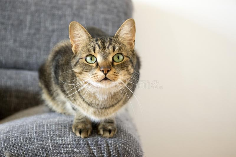Domestic tiger cat lying on grey sofa, eye contact. Curious expression royalty free stock photos