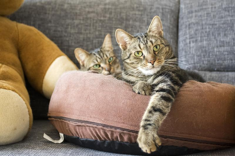 Domestic tiger marble cata lying on brown cat bed on grey sofa. Two domestic tiger marble cats lying on brown cat bed on grey sofa, eye contact, cute cat royalty free stock photos