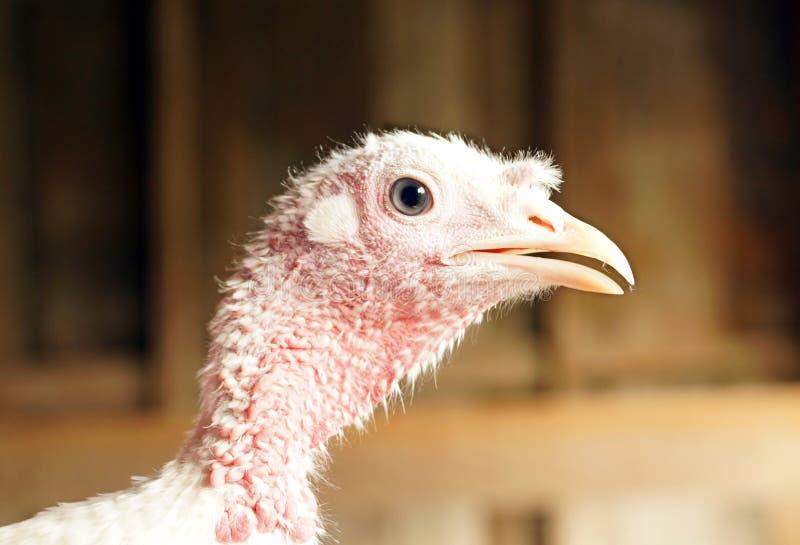 Download Domestic turkey stock image. Image of food, turkey, farm - 35286939