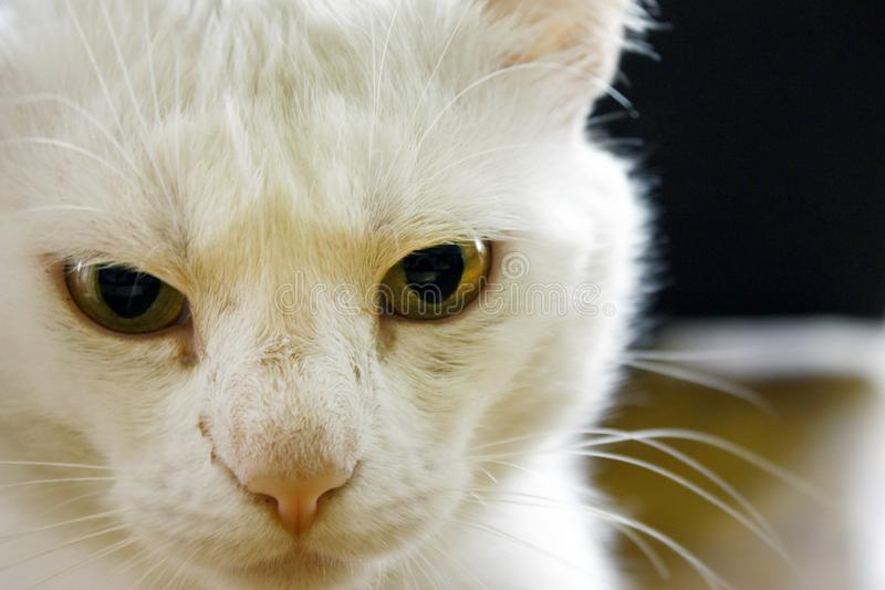Domestic white albino cat with yellow eyes. Cat eyes are closing. White wool. A large plan on a dark background. Home white albino cat with yellow eyes. Cat& x27 stock photos