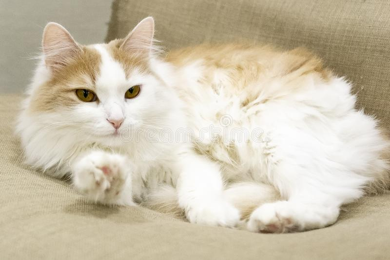 Domestic white beige cat on the chair close-up. Stretches a paw. Looking carefully at the camera royalty free stock image