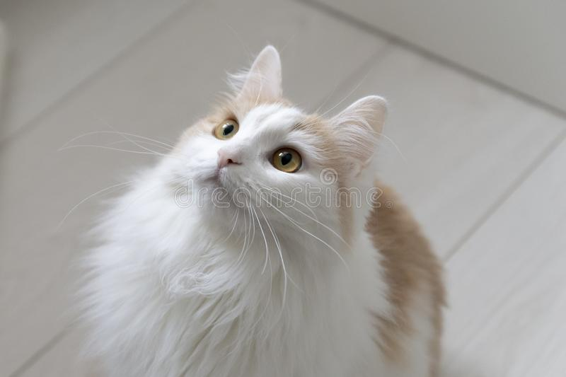 Domestic white beige cat looks up. Muzzle close up. Attentive and interested look. On a light background stock photography