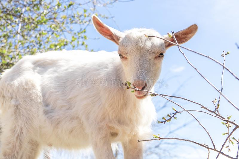 Domestic white goat chews young spring shoots of Bush and looks at camera royalty free stock image