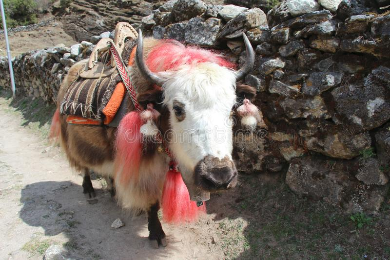 Domestic yak with red dyed wool in Himalayas. Domestic yak Bos grunniens with red dyed wool and with a saddle on his back on the way to Everest base camp royalty free stock photos