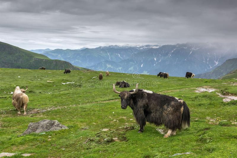 Domestic yaks at Rohtang pass in Himachal Pradesh state. Northern India stock photography