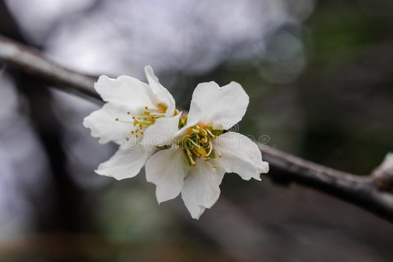 Domestica сливы цветка сливы, зацветая стоковая фотография