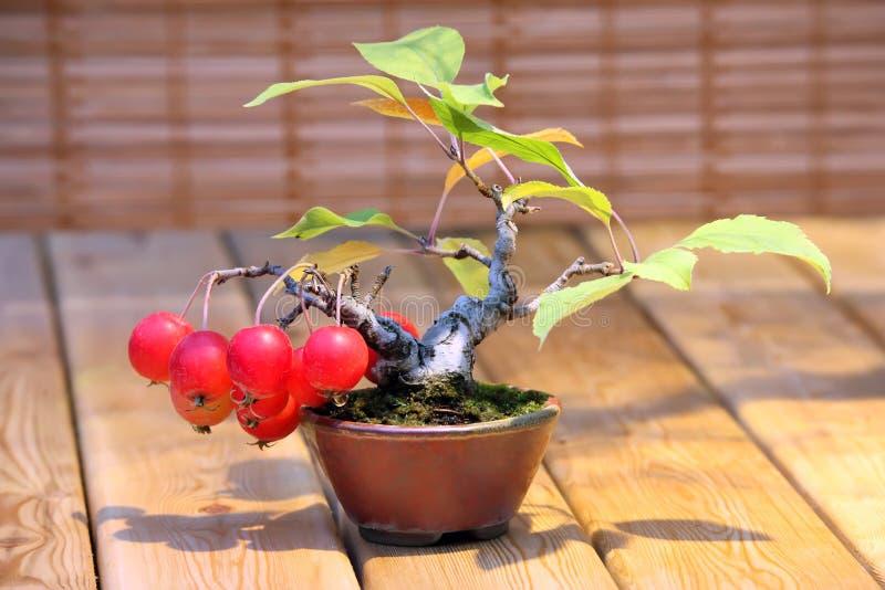 Domestica яблони бонзаев - яблоня с красными яблоками в баке стоковое изображение