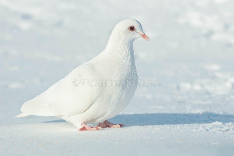 Domestica de Feral Pigeon - de colomba livia images libres de droits