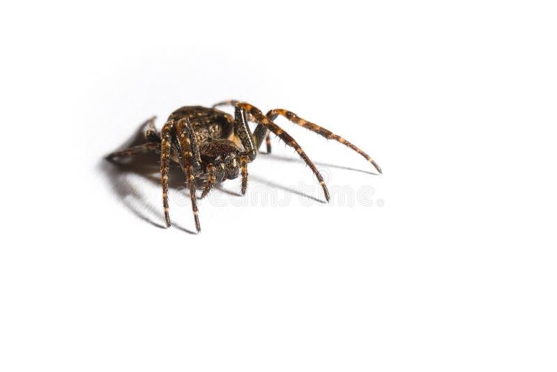 Domestica de Tegenaria d'araignée de Chambre photo libre de droits