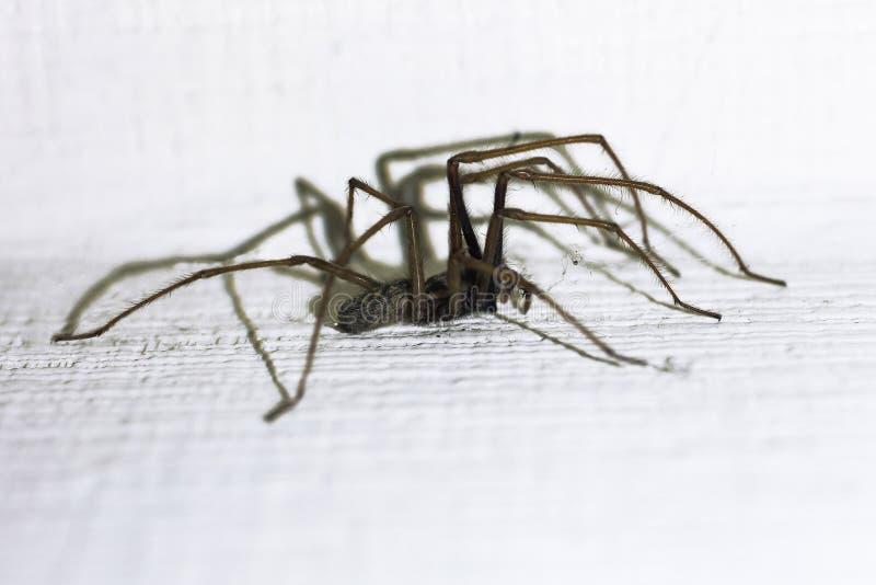 Domestica de Tegenaria Tisserand d'entonnoir de grange, araignée domestique de maison photos libres de droits