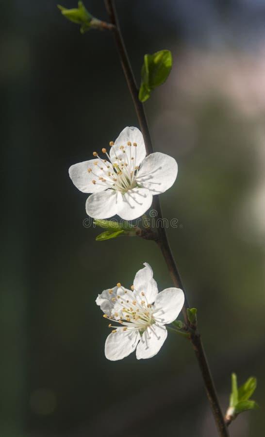Domestica do Prunus foto de stock royalty free