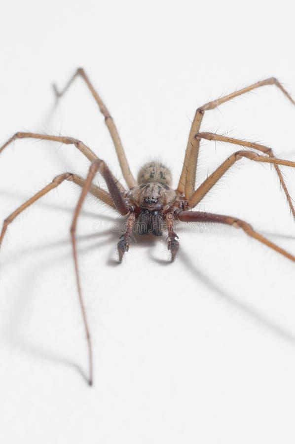 domestica domowy pająka tegenaria zdjęcie stock