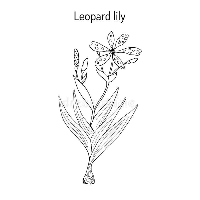 Domestica för leopardblommairis eller Blackberry lilja, medicinalväxt vektor illustrationer