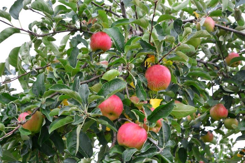 Domestica van Apple Malus, op de boom royalty-vrije stock fotografie