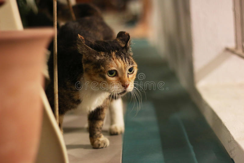 Domesticated Cat. Looking at surroundings stock image