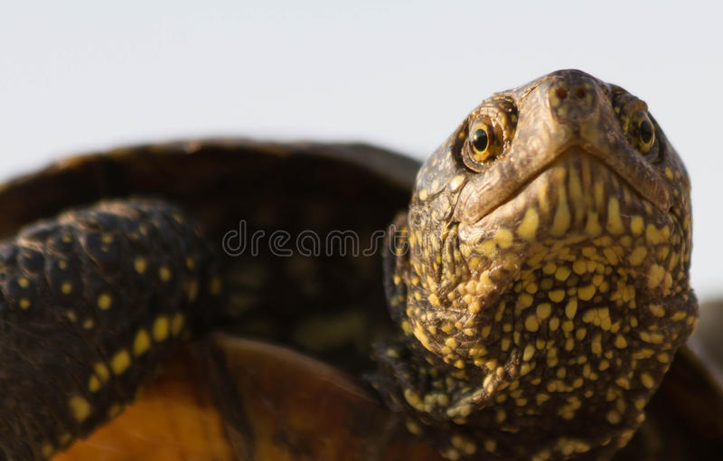 Domesticated forest turtle royalty free stock image