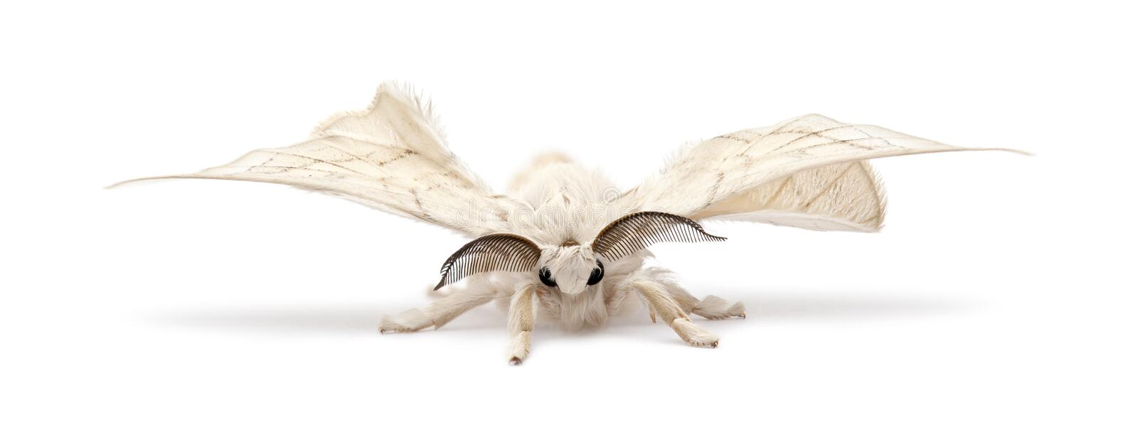 Domesticated Silkmoth, Bombyx mori. Against white background royalty free stock images