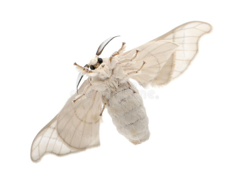 Domesticated Silkmoth, Bombyx mori. Underside view against white background stock photography