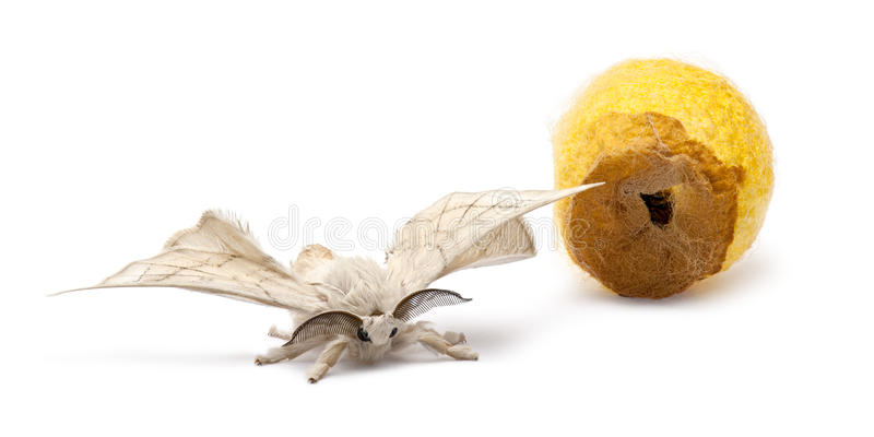 Domesticated Silkmoth next to own cocoon. Bombyx mori, against white background royalty free stock image