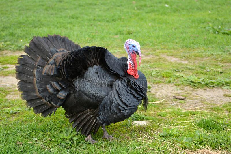 The domesticated turkey. In a farmyard. Meleagris gallopavo stock images