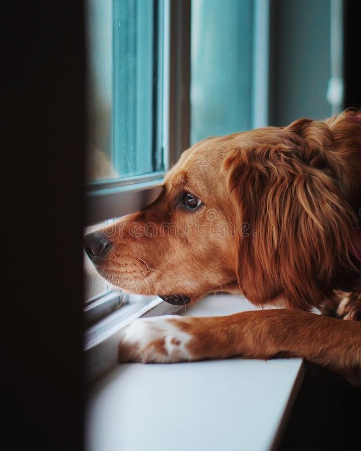 Domesticated upset Golden Retriever looking out a window and missing his owner stock images