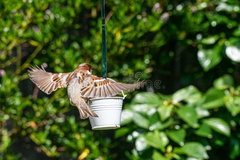 Domesticus πομπών σπουργιτιών σπιτιών που προσγειώνεται στον τροφοδότη πουλιών κήπων στοκ εικόνες με δικαίωμα ελεύθερης χρήσης
