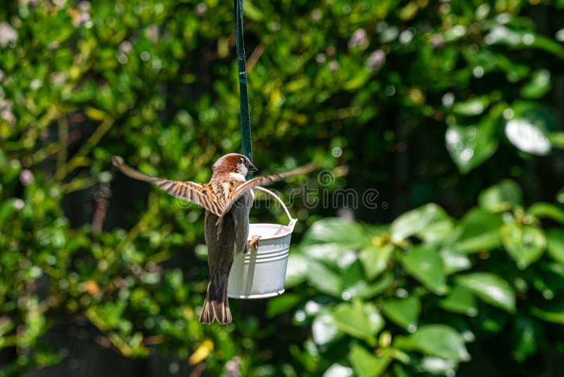 Domesticus πομπών σπουργιτιών σπιτιών που προσγειώνεται στον τροφοδότη πουλιών κήπων στοκ εικόνες