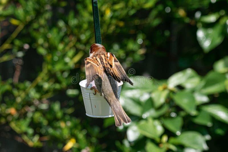 Domesticus πομπών σπουργιτιών σπιτιών που προσγειώνεται στον τροφοδότη πουλιών κήπων στοκ φωτογραφίες με δικαίωμα ελεύθερης χρήσης
