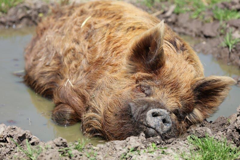 Domesticus do scrofa do Sus do porco de Kunekune fotografia de stock