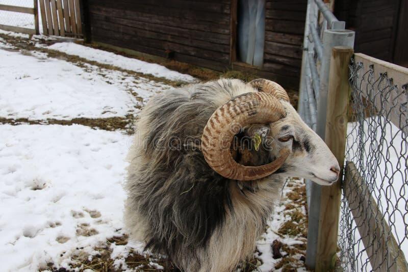 Domesticus sueco do aries do Ovis dos Gute-carneiros do ` do gutefår do ` imagens de stock royalty free