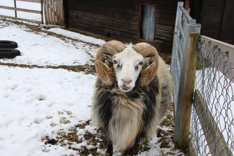 Domesticus svedese di ovis aries delle Gute-pecore del ` del gutefår del ` fotografia stock libera da diritti