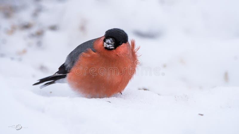 Domherre om den blåsiga dagen på snön arkivbilder