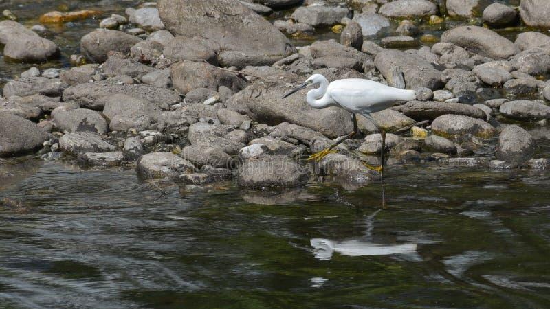Domherren som poseras på överkanten av, sörjer den lilla ägretthägret för treewhite som går bland stenarna av floden arkivfoton