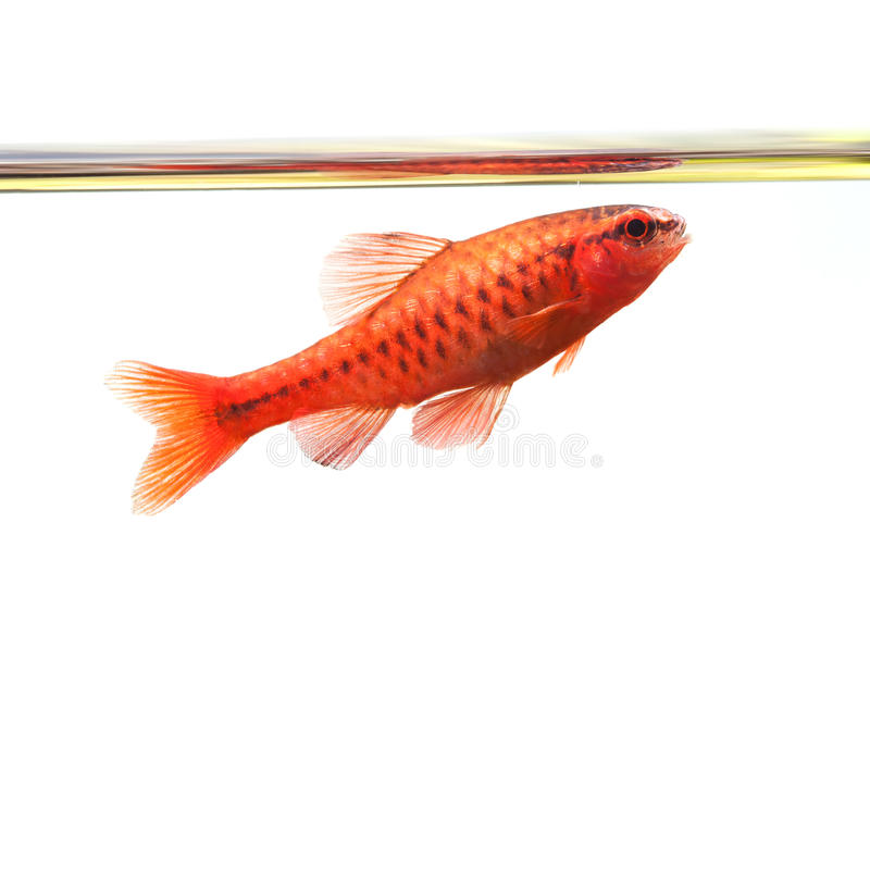 Dominant cherry barb male fish. Tropical freshwater aquarium water surface on white background. Puntius titteya stock image