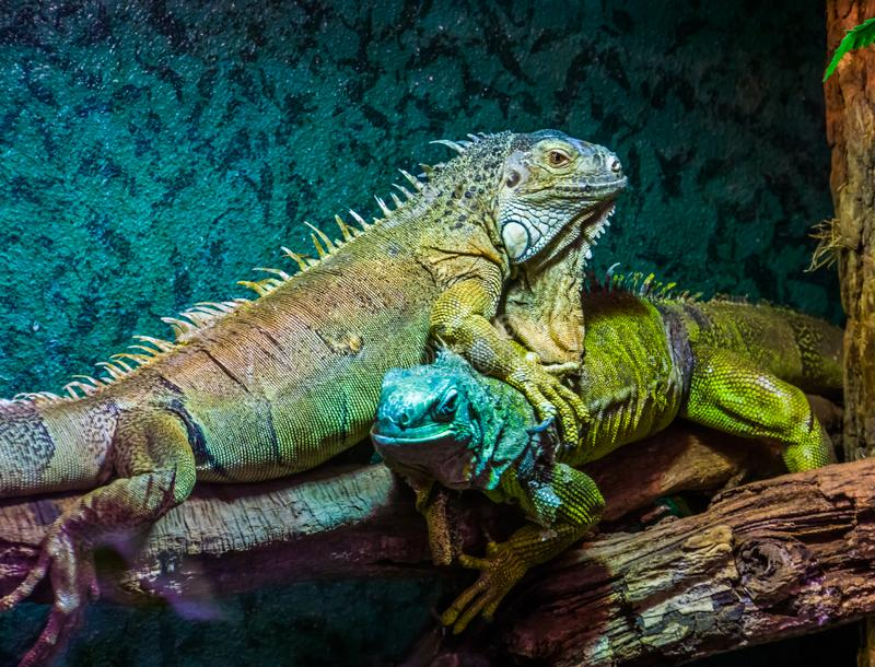 Dominant lizard behaviors, green iguana on top of another iguana, popular tropical pet, exotic lizard specie from America. Some dominant lizard behaviors, green royalty free stock images