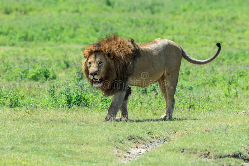 A dominant male African lion from the Ngorongoro pride stock photography
