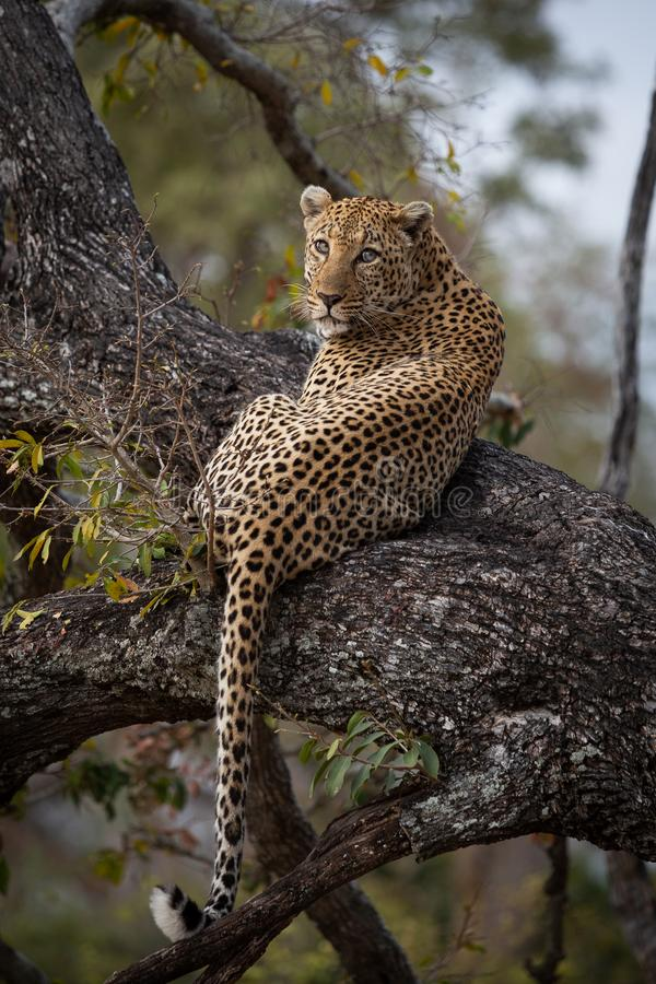 A dominant male leopard rests in a tree stock photography