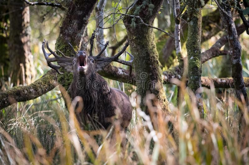 Dominant red stag deer roaring in a forest stock images