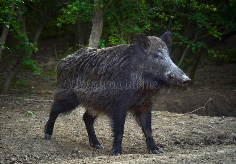 Dominant wild boar. Dominant bull wild hog in the forest royalty free stock photo