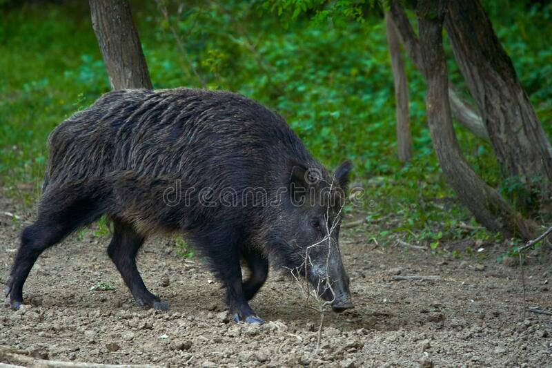 Dominant wild boar. Dominant bull wild hog in the forest stock image