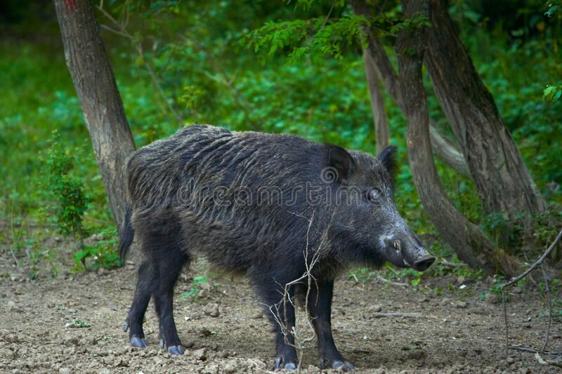 Dominant wild boar. Dominant bull wild hog in the forest royalty free stock photos