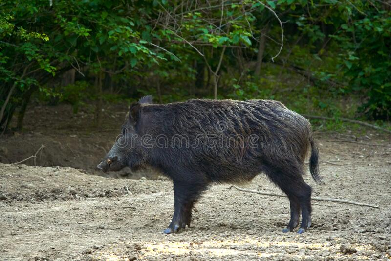 Dominant wild boar. Dominant bull wild hog in the forest royalty free stock image