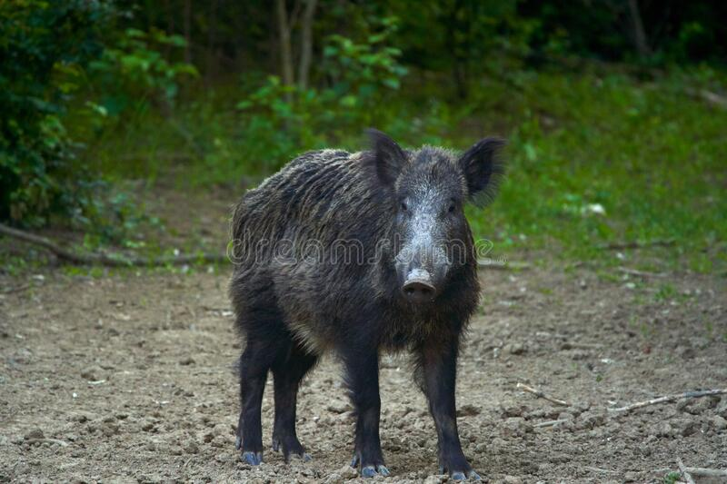 Dominant wild boar. Dominant bull wild hog in the forest stock images