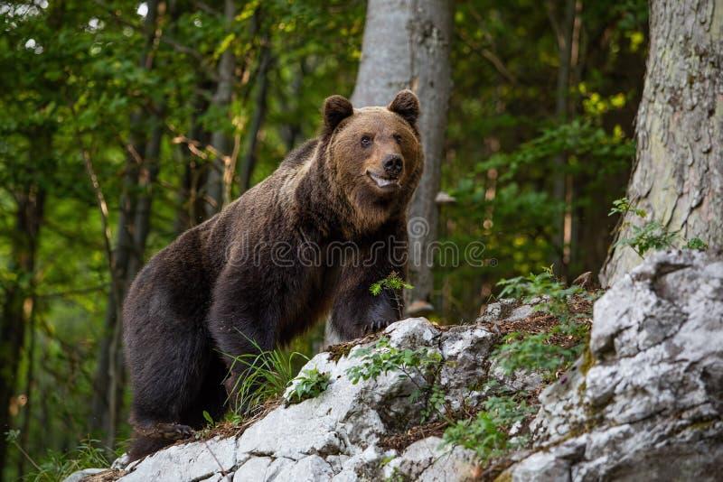 Dominante bruin draagt, ursusarctos zich bevindt op een rots in bos royalty-vrije stock afbeelding